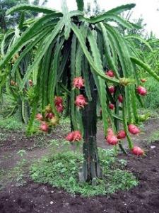 http://3.bp.blogspot.com/_QIO3T5jbO18/SwsfCpy3PII/AAAAAAAAAIY/whuSwWWh5Zs/s1600/pohon+buah+naga.jpg